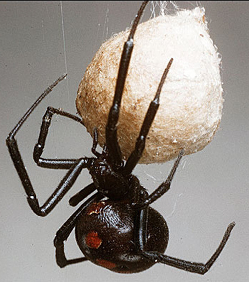 Black Widow Egg Sack