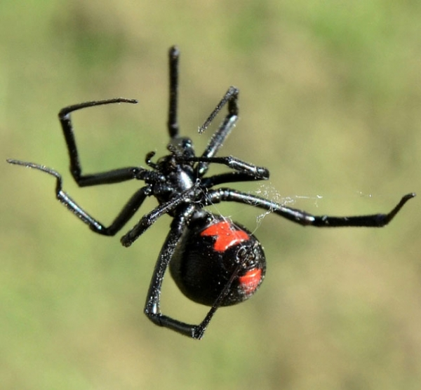 Black Widow Spider Pest Control | Barrier Pest Solutions