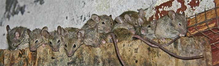 mice-in-home