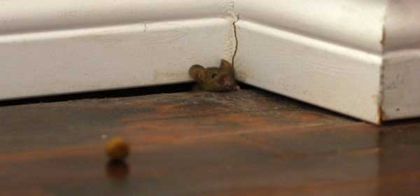 mouse-in-home