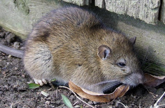 Information On Norway Rats Barrier Pest Solutions