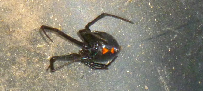 Can a Black Widow Spider Bite Kill Your Dog?