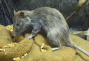 Information On Roof Rats Barrier Pest Solutions
